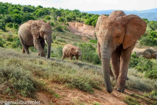 Addo Elephant Park Elefant