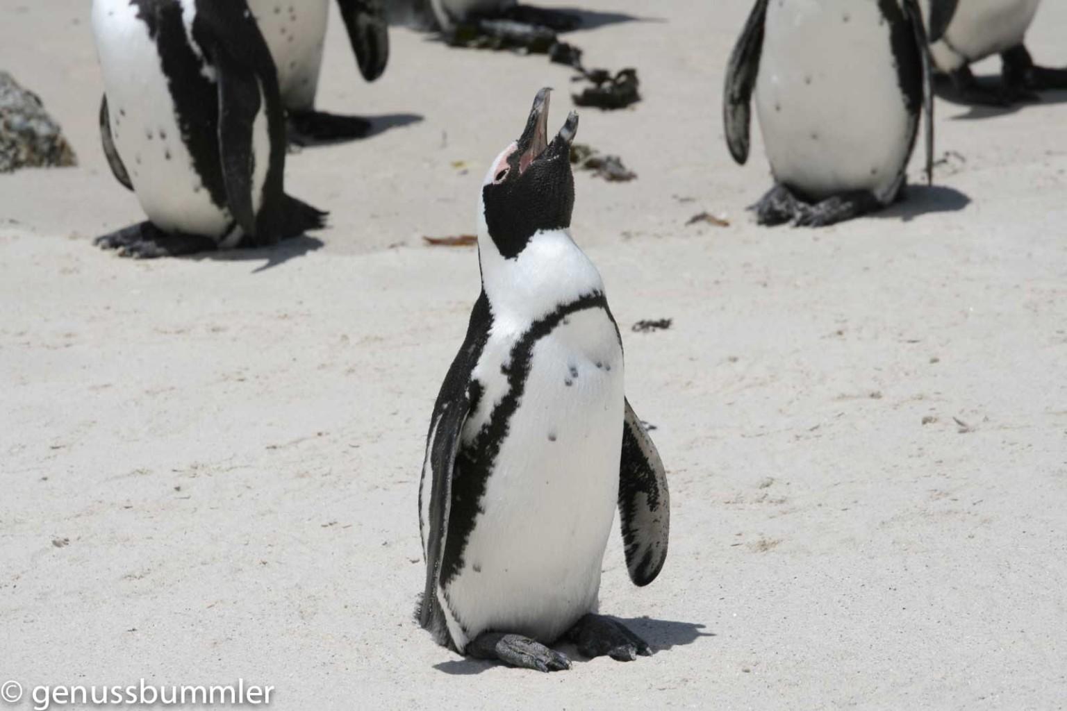 Südafrika Pinguin Simons Town