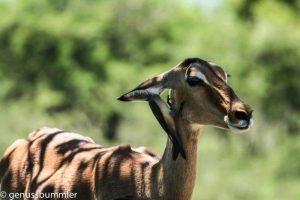 Hluhluwe imfolozi Park Antilope