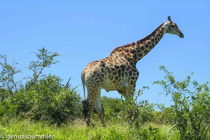 Hluhluwe imfolozi Park Giraffe