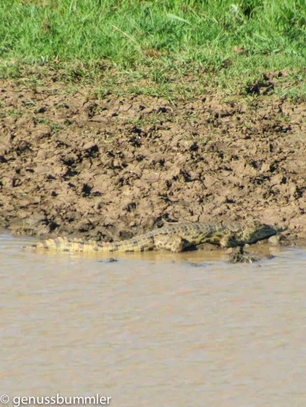Hluhluwe imfolozi Park Krokodil