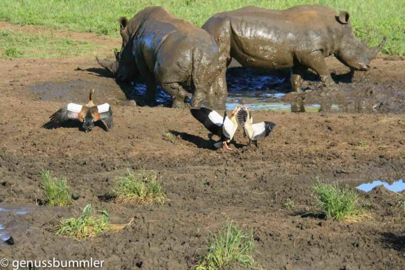 Hluhluwe imfolozi Park Nashörner