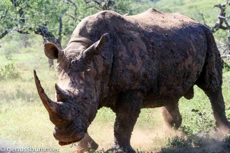 Hluhluwe imfolozi Park Nashorn