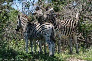 Hluhluwe imfolozi Park Zebras