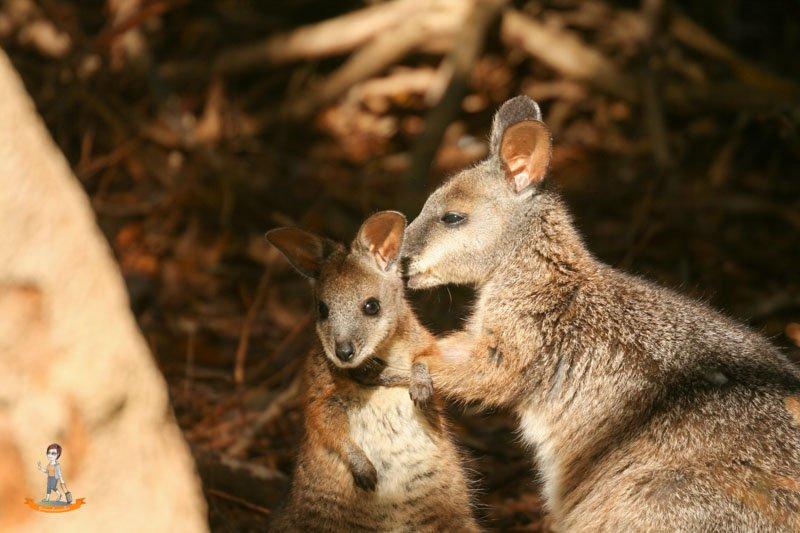 Kangaroo Island Australien Wallaby
