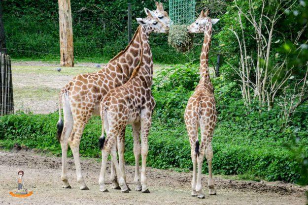 Burgers Zoo Arnheim Giraffen