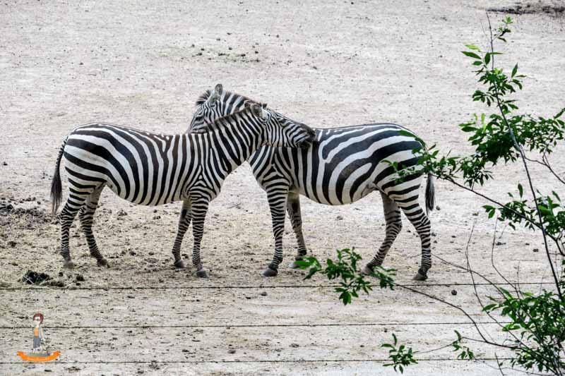 Burgers Zoo Arnheim Zebras