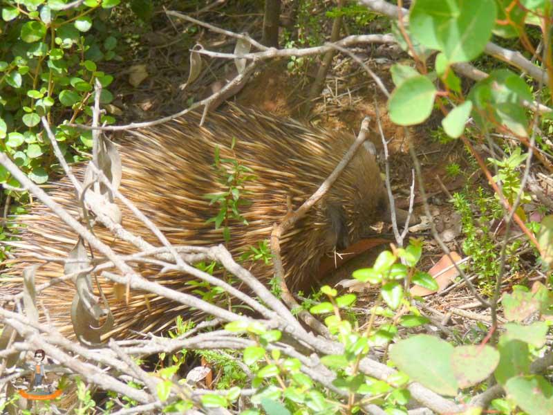 Kangaroo Island Australien Echidna