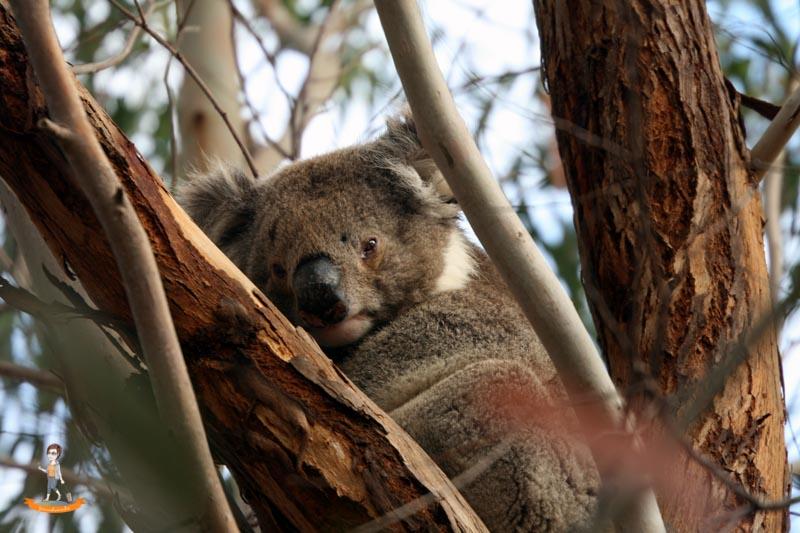 Kangaroo Island Australien Koala