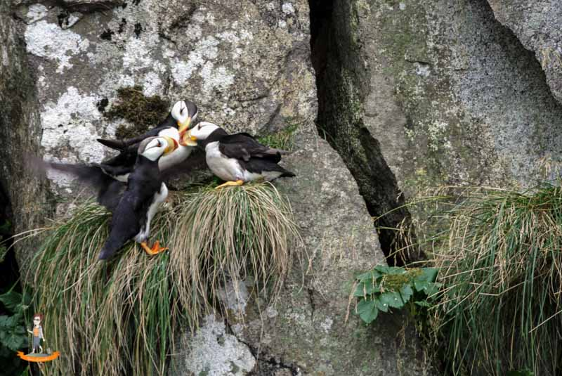 Kenai Fjords Nationalpark Papageientaucher