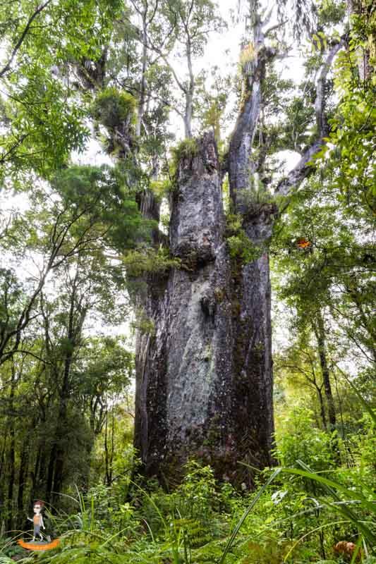 Northland von Neuseeland Kauri Baum