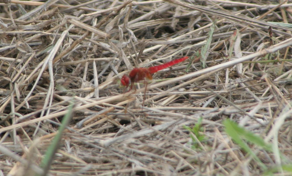 Safari Suedafrika Libelle