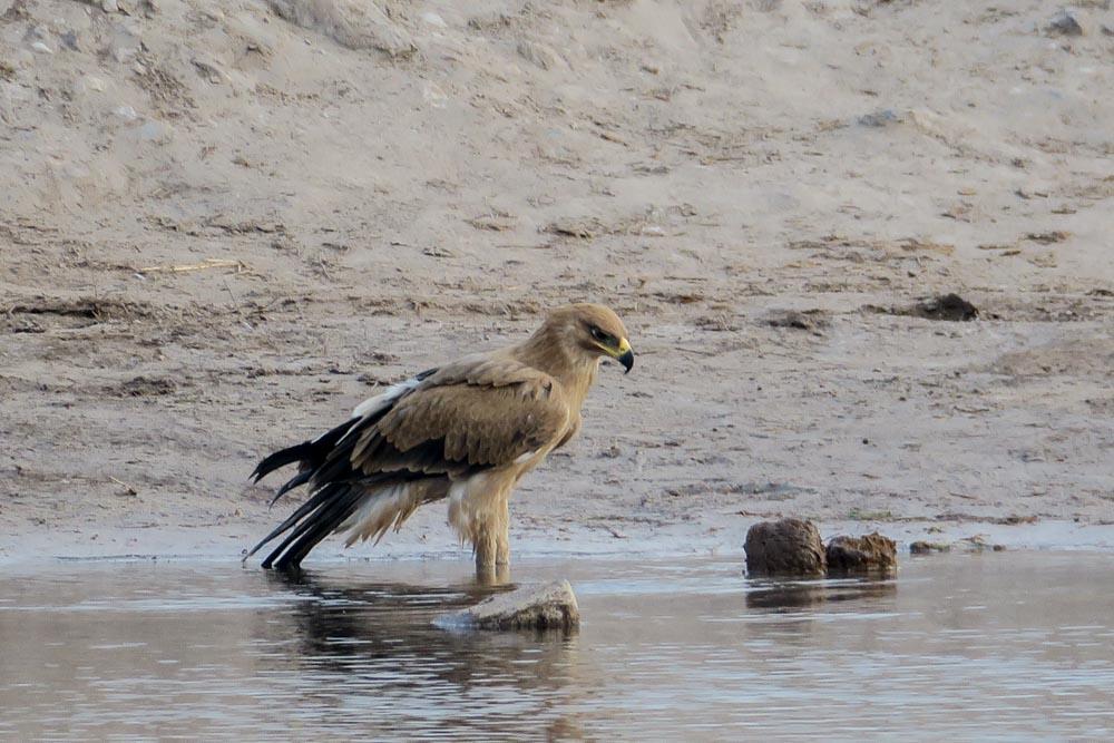 Botswana Savute Chobe Nationalpark Adler