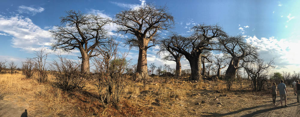 Botswana Savute Chobe Nationalpark Baobabwald