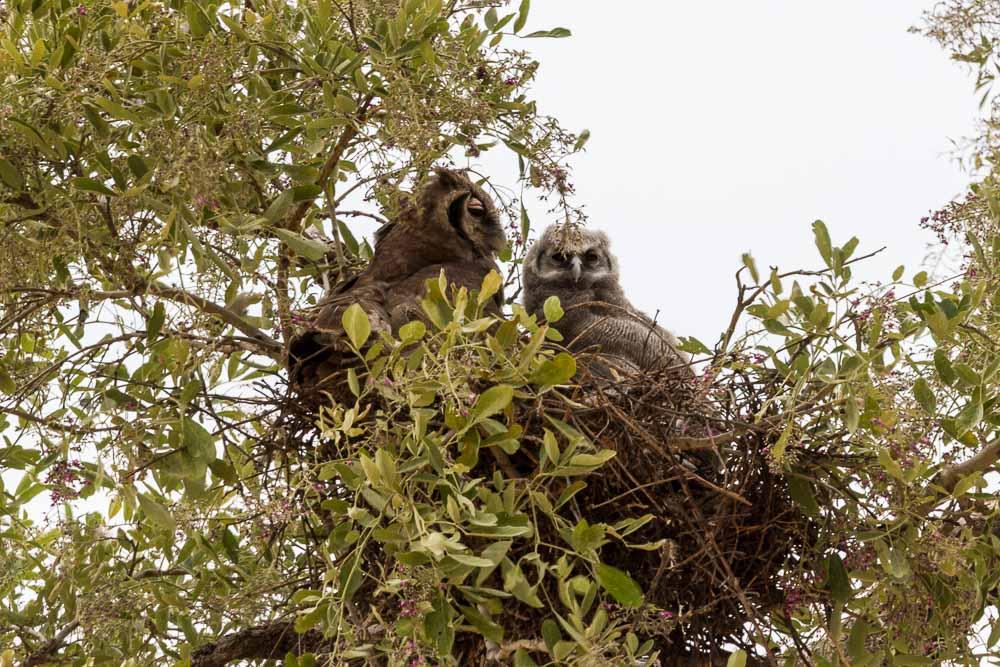 Botswana Savute Chobe Nationalpark Eule