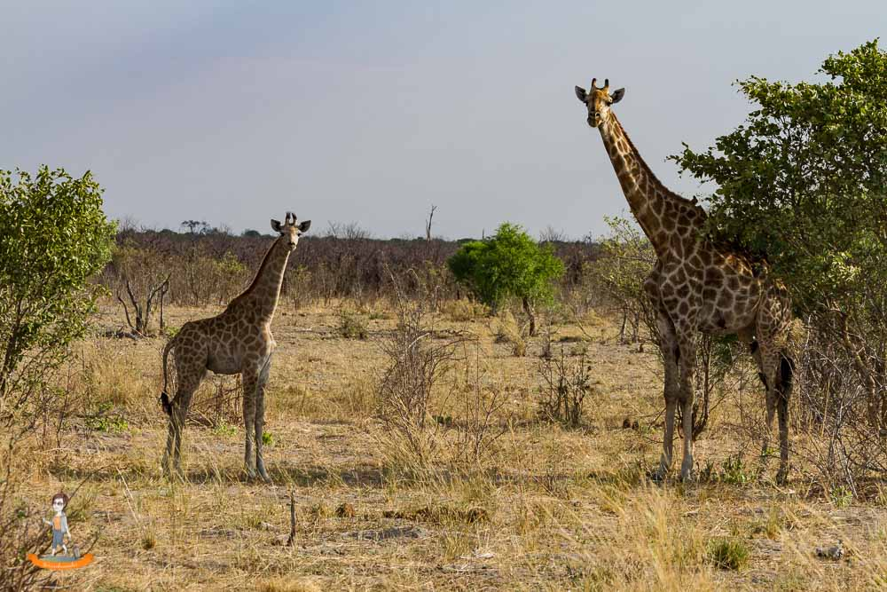 Botswana Savute Chobe Nationalpark Giraffen