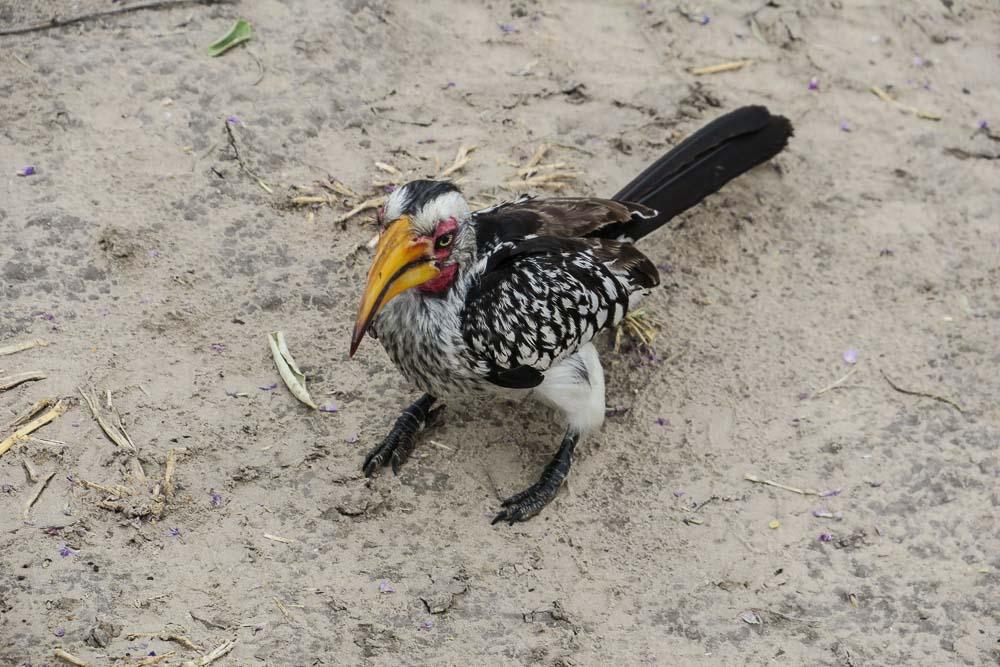 Botswana Savute Chobe Nationalpark Hornbill