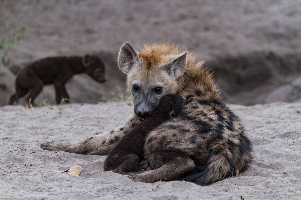 Botswana Savute Chobe Nationalpark Hyäne