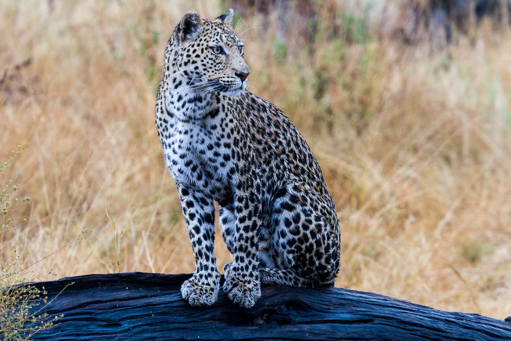 Botswana Savute Safari Camp Chobe Nationalpark Leopard