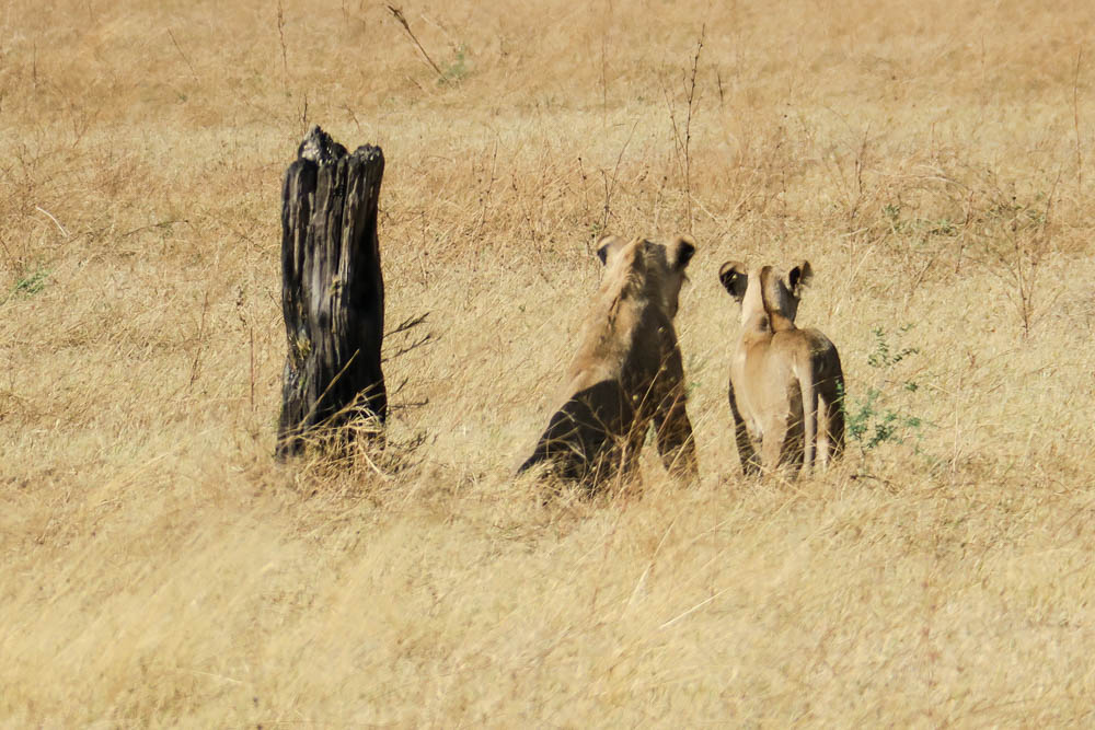 Botswana Savute Chobe Nationalpark Löwen