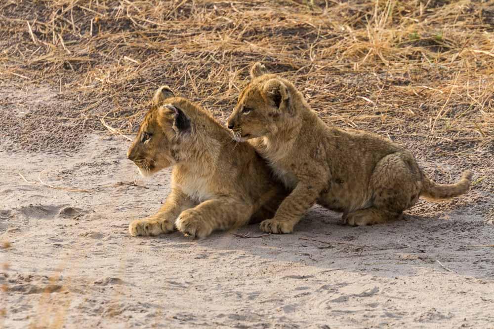 Botswana Savute Chobe Nationalpark Löwenjunge