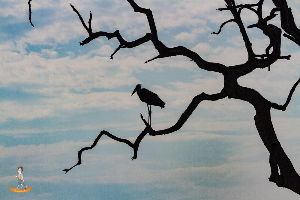 Chobe Botswana Marabu