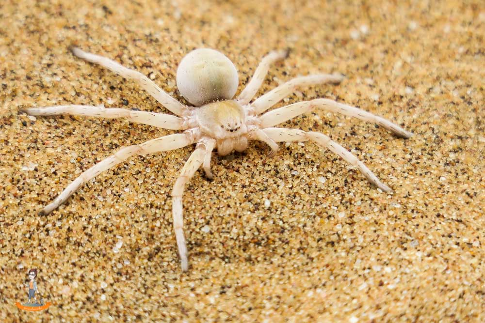Living Desert Spinne