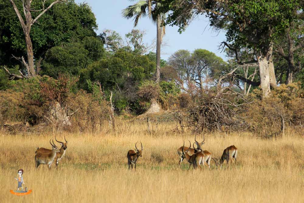 Okavango Delta Safari Antilopen