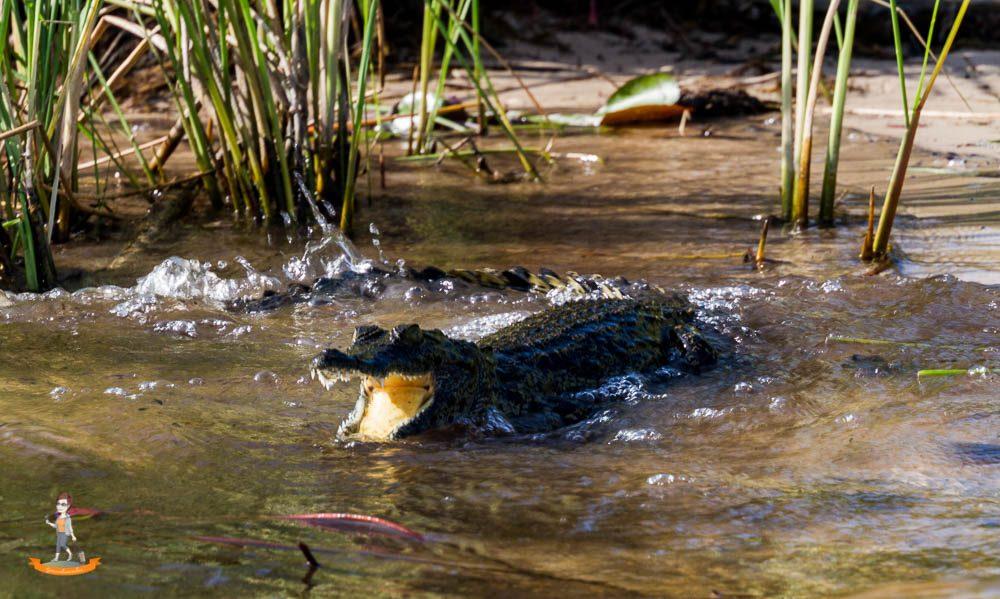 Okavango Delta Safari Krokodil