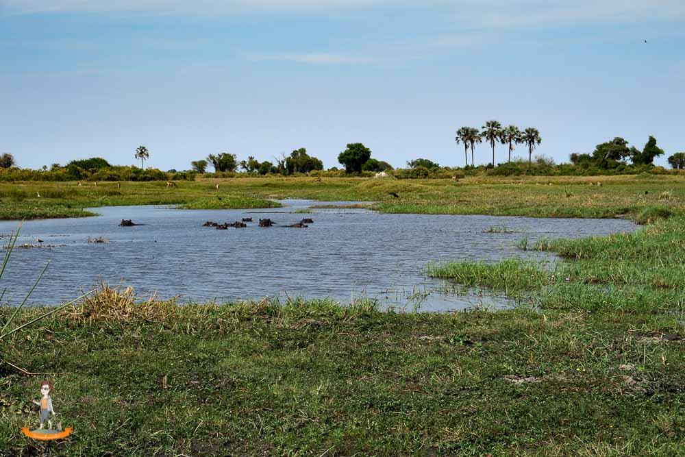 Okavango Delta Safari Nilpferde