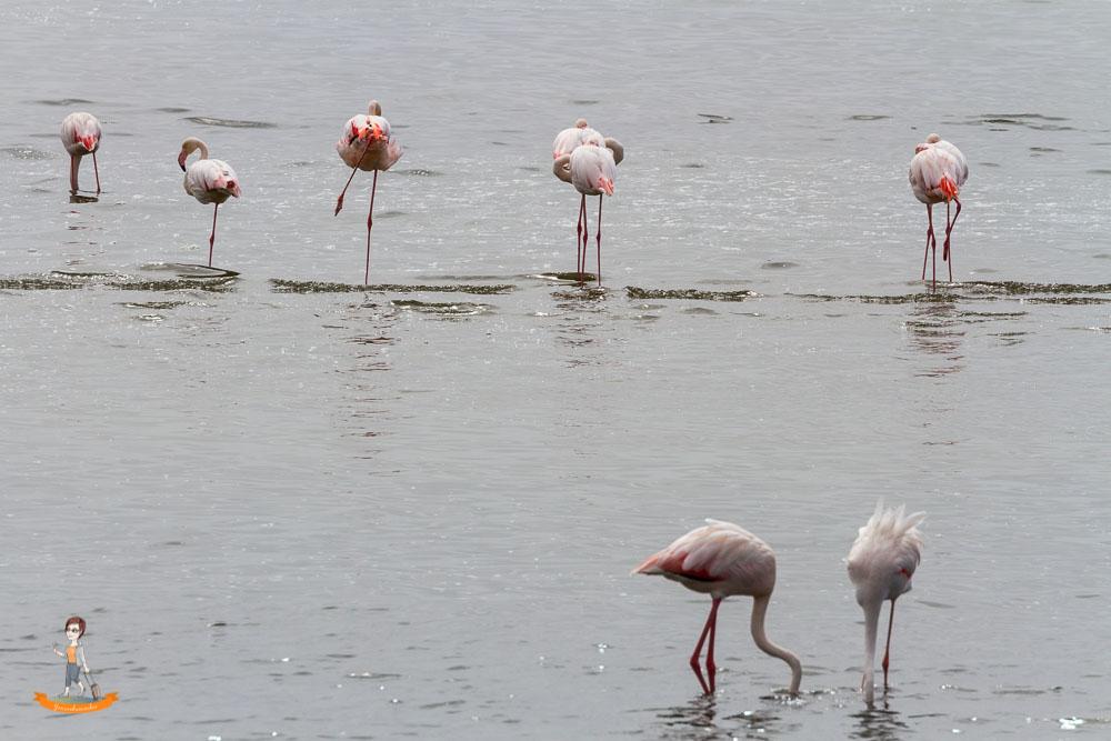 Swakopmund Flamingo