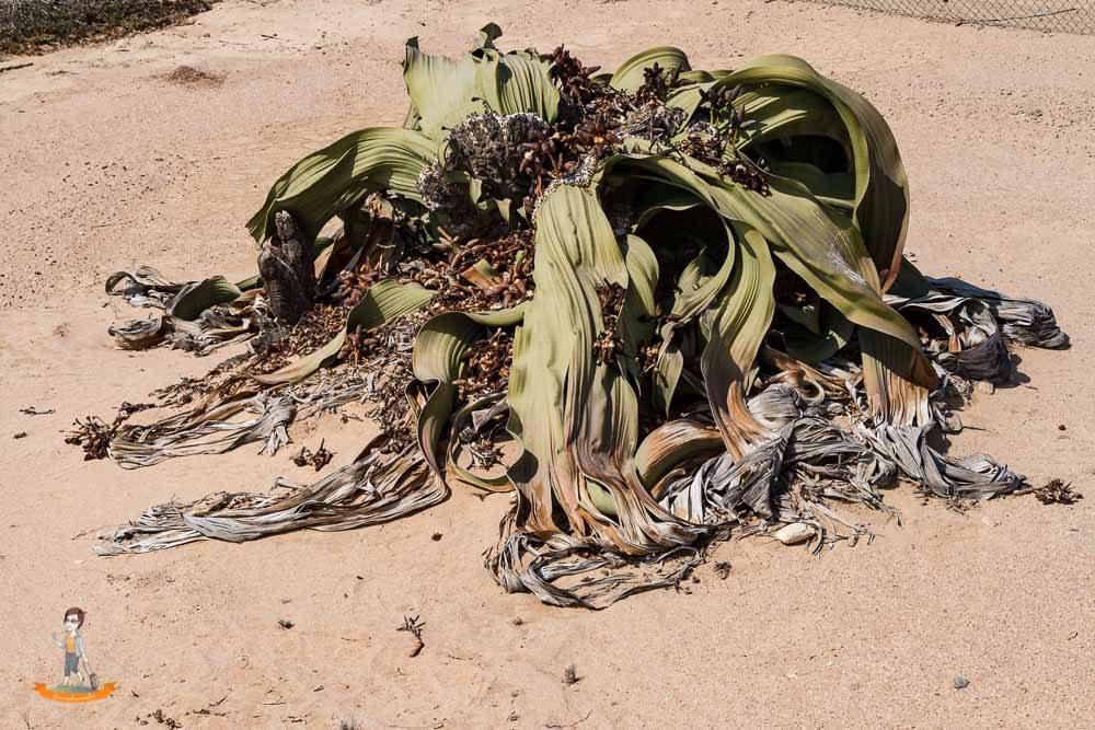 Swakopmund Welwitschia