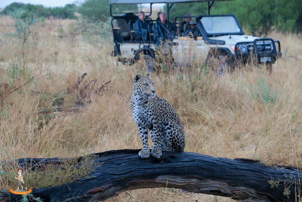 Botswana Savute Leopard