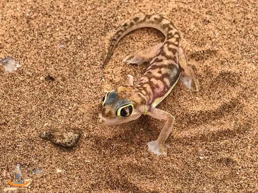 Living Desert Namibia Palmatogecko