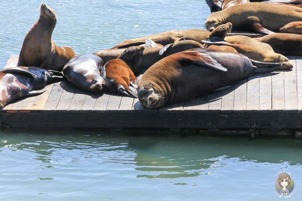 San Francisco Seelöwen