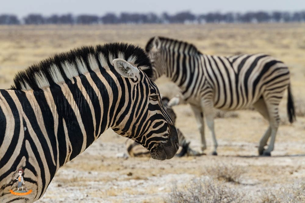 Etosha Nationalpark Namibia Zebras