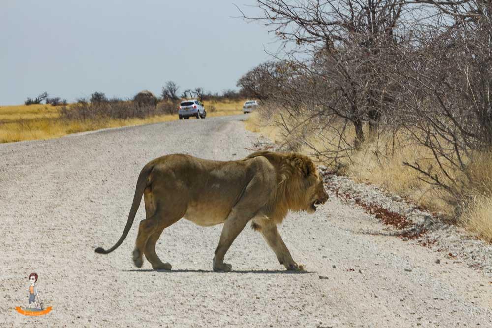 Etosha Nationalpark Namibia Löwe