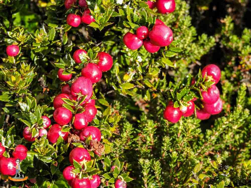 Chile Andenapfel