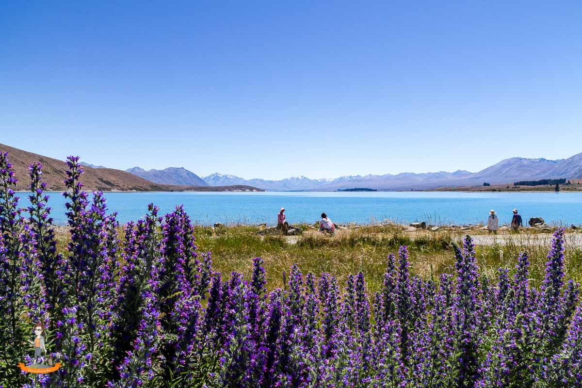 Reiseziel im Winter Lupinen in Neuseeland Reisestil